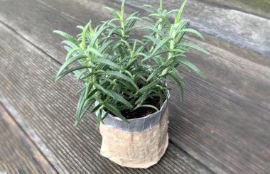 Rosmarinpflanze in selbstgemachter Pflanzentasche